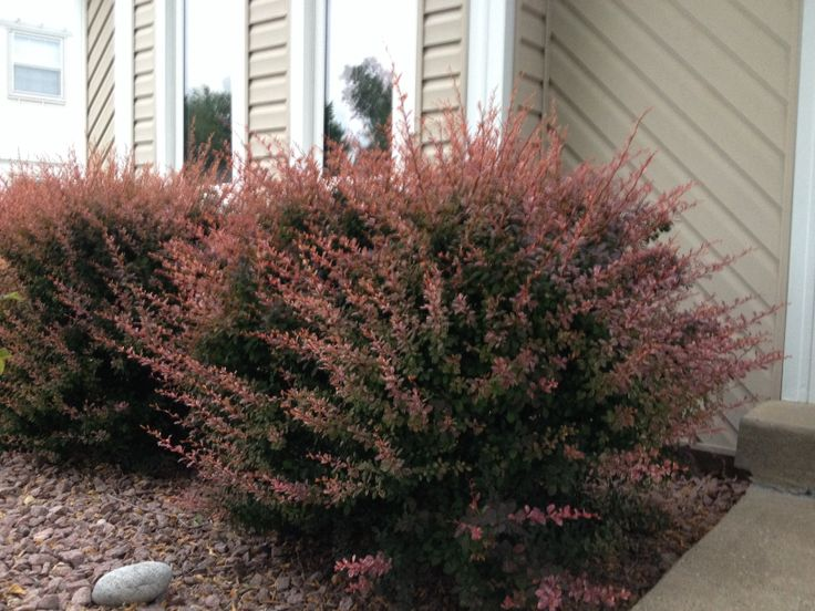 Barberry Bushes In Front Of House Landscaping Ideas