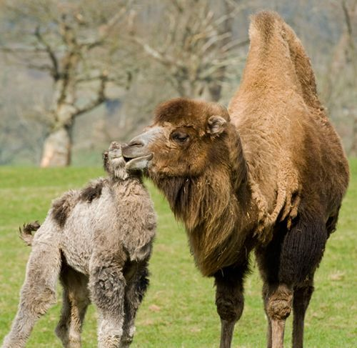 baby camel getting kisses from mom