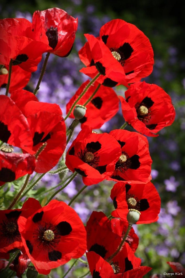 1186 best poppies images on pinterest poppy flowers flowers and