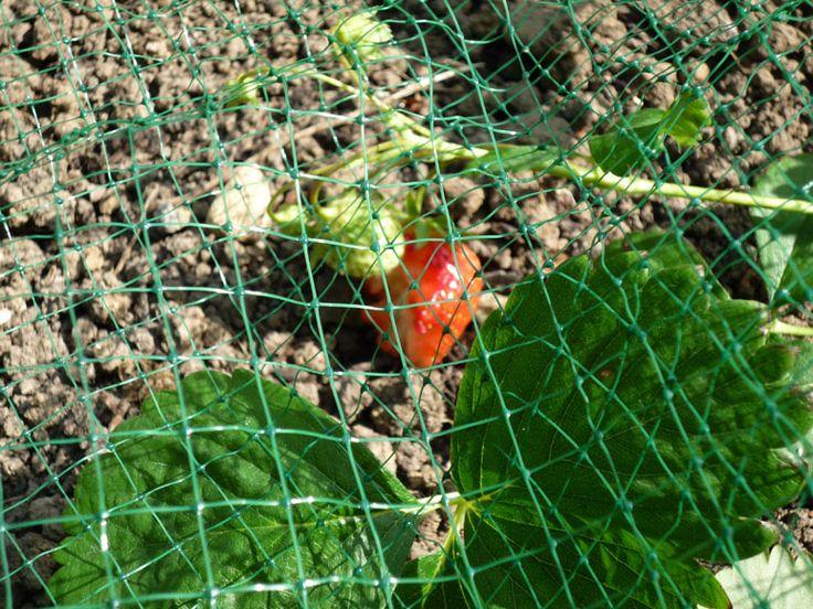 Filet sur les fraisiers cd effaroucheur contre les for Solde plante jardin
