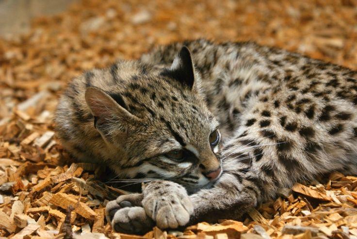 Ocelot stromový je noční tvor, který loví drobné obratlovce, především hlodavce a ptáky. Dorůstá délky 40 až 50 cm a ocas měří 30 až 40 cm. Je o málo větší než kočka domácí, ale váží méně než kočka domácí: 2 – 3 kg.