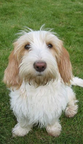 1354 best images about pbgv dogs on pinterest old dogs dog show and image search - Petit basset hound angers ...