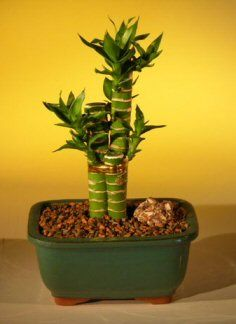 17 Best Images About Lucky Bamboo On Pinterest Dracaena Plant Decorative Rocks And Ceramic Pots