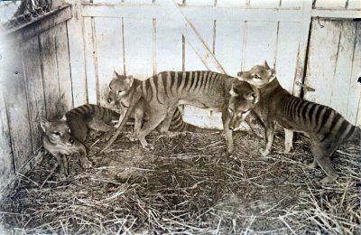 tigre de Tasmanie A l'état sauvage dernier spécimen abattu en 1930 , en captivité 1936. C'était un marsupial