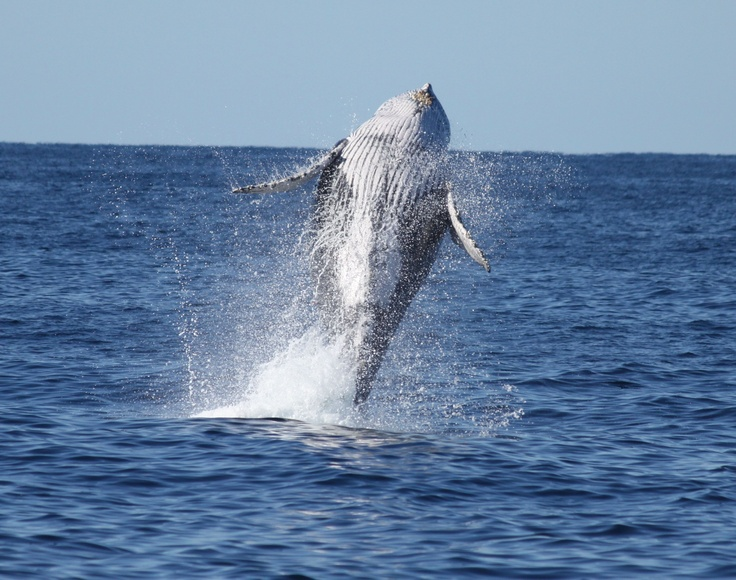 Whale watching from Burleigh Headland