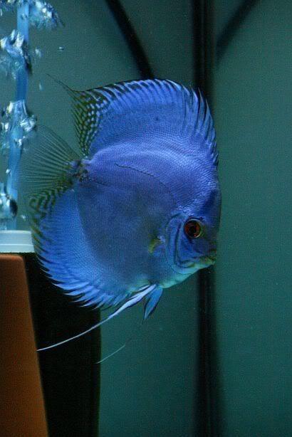 25 Best Ideas About Aquarium Fish On Pinterest