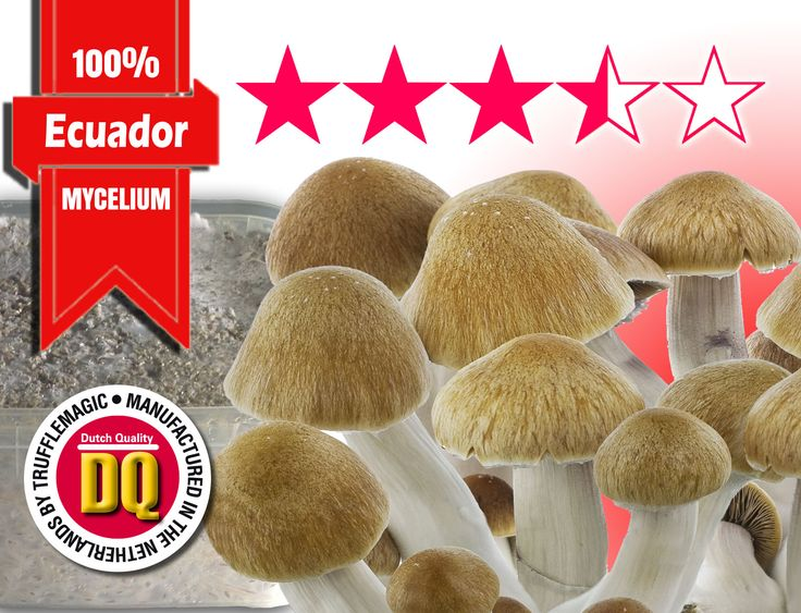 Trufflemagic's 100% Mycelium Magic Mushroom Growkit Ecuador are 100% colonized by mycelium substrate to get the best yields possible. The Ecuador is one of the more populair strains, and very recognizable as a real cubensis. Thanks to its long meaty stem with a large caramel-coloured cap they are easily recognized by real psychonauts and mycologists. This strain was discovered in the beautiful Andes mountains of Ecuador, at 1100+ meter altitude. These mushrooms are as robust as the habitat…