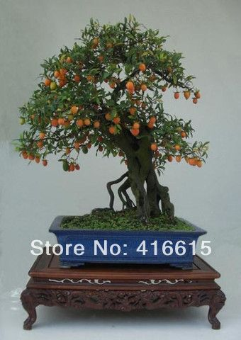 ... kaki- exotische bonsai/fruitboom mysterieuze gave van bloemzaden plus