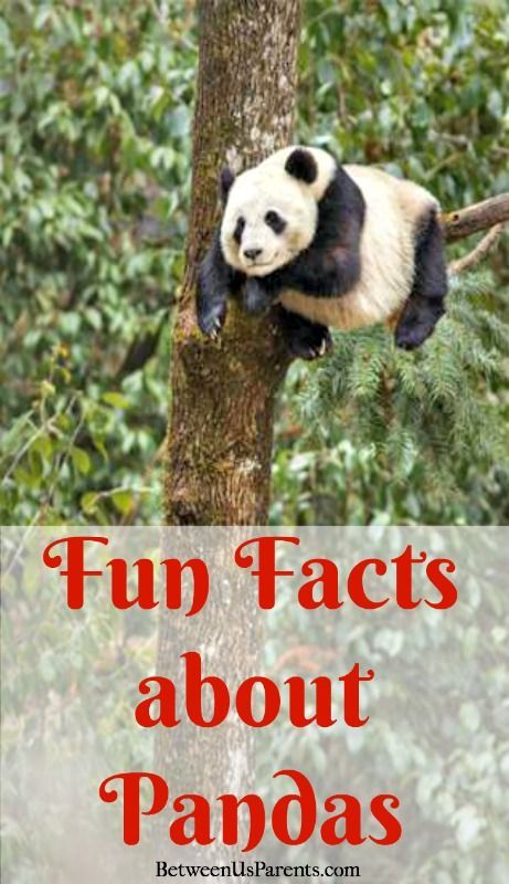 Did you know that a panda mama is about 900 times bigger than her baby? Learn lots of fun facts about pandas here and see a clip from the DisneyNature film #BornInChina