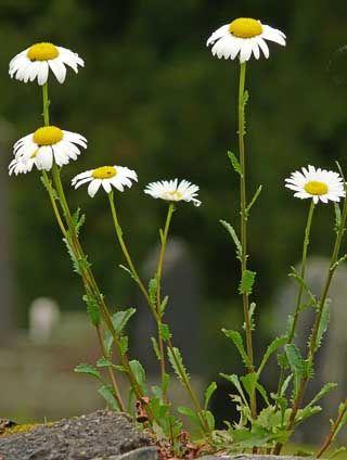 Prästkrage, Leucanthemum vulgare - Blomväxter - NatureGate