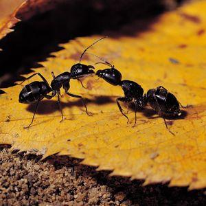 Safe, Effective Ant Trap 1% Boric Acid 20% Sugar 2c Water Soak Cotton
