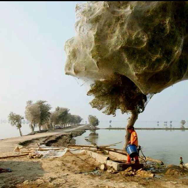 Spider trees Pakistan