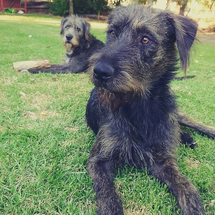 Irish wolfhounds, one year old Milish (foreground) and his Daddy, Fergus.