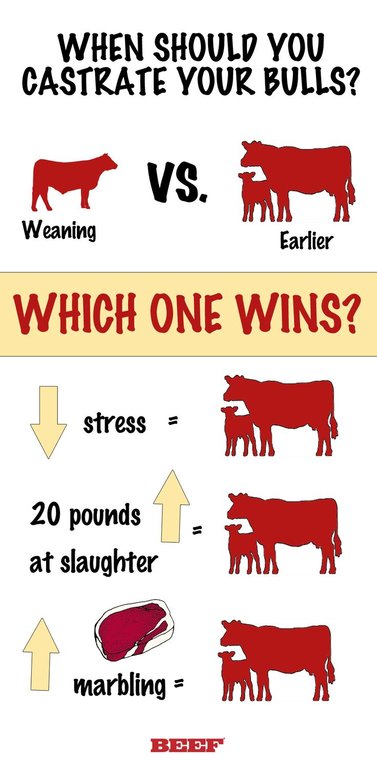 We dug through the the research for you to answer your questions on calf castration. Virtually every study indicates a bull calf will outweigh a non-implanted steer calf at weaning. But what happens if we castrate that bull at weaning or even months later?