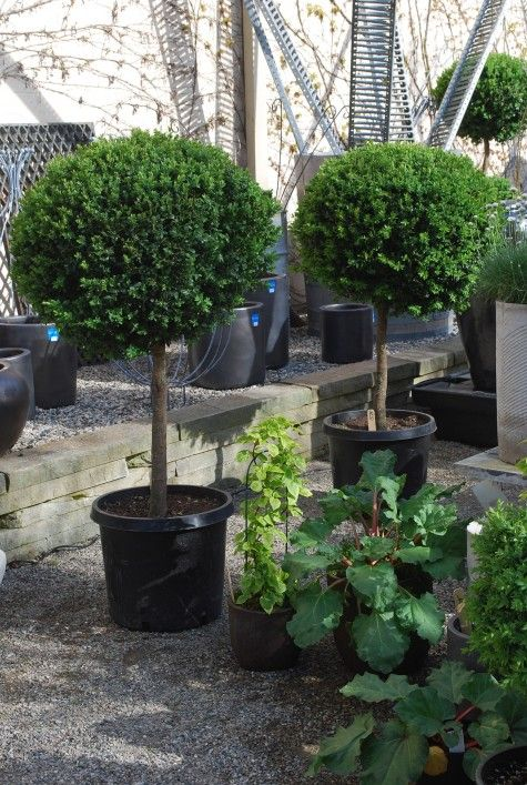 single ball boxwood topiaries