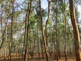Eukaliptusz gyógyhatásai http://soulonefonix-termeszetesegeszseg.blogspot.com/2015/03/eukaliptusz-gyogyhatasai.html