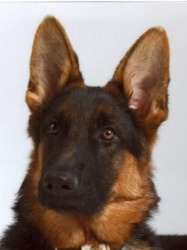 Luke is an adoptable German Shepherd Dog Dog in Newtown, CT. COURTESY POST: Luke is a young purebred german shephard of only 11 months old. He was rescued from a high kill shelter when he was 6 months...