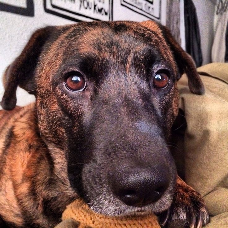 Tennessee treeing brindle. Her face. My heart. | pets and ...