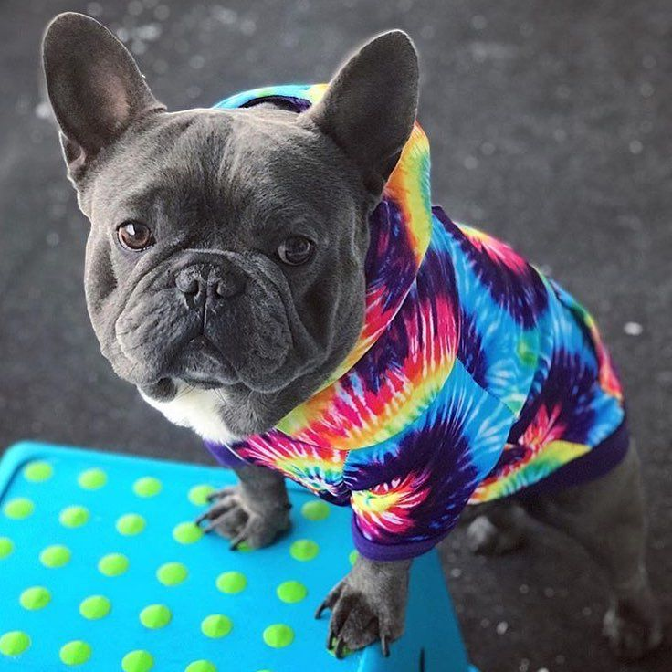 Gefallt 478 Mal 13 Kommentare Frenchie Bulldog Pet Supply Frenchie Bulldog Auf Instagram We Know Back To Back Ti Franzosische Bulldogge Bulldogge Zeus
