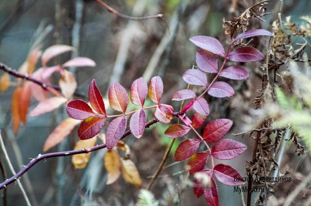 Уходит осень и красные листья оставляет за собой