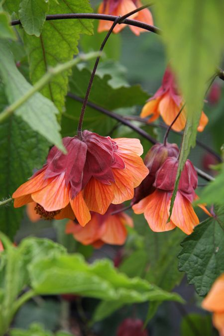 Abutilon megapotamicum 'Orange Hot Lava' (Trailing Abutilon, Flowering Maple, Chinese Lanterns 'Orange Hot Lava'), compact multistemmed plant approx' 1m or more high. A mass of orange bells, net-veined in red and with a prominent brick-red calyx, are produced over a long period from July until frosts. Hardy with the shelter of a warm wall. zone 7b-10a.