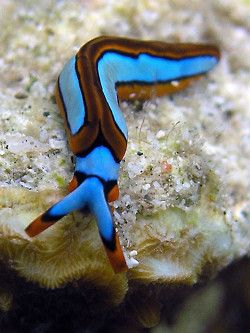 the bright, contrasting coloration of nudibranch is believed to be a warning to potential predators that the slugs are distasteful or poisonous.