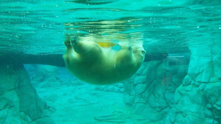 Polar Bear Shores at Sea World on the Gold Coast in Queensland, Australia