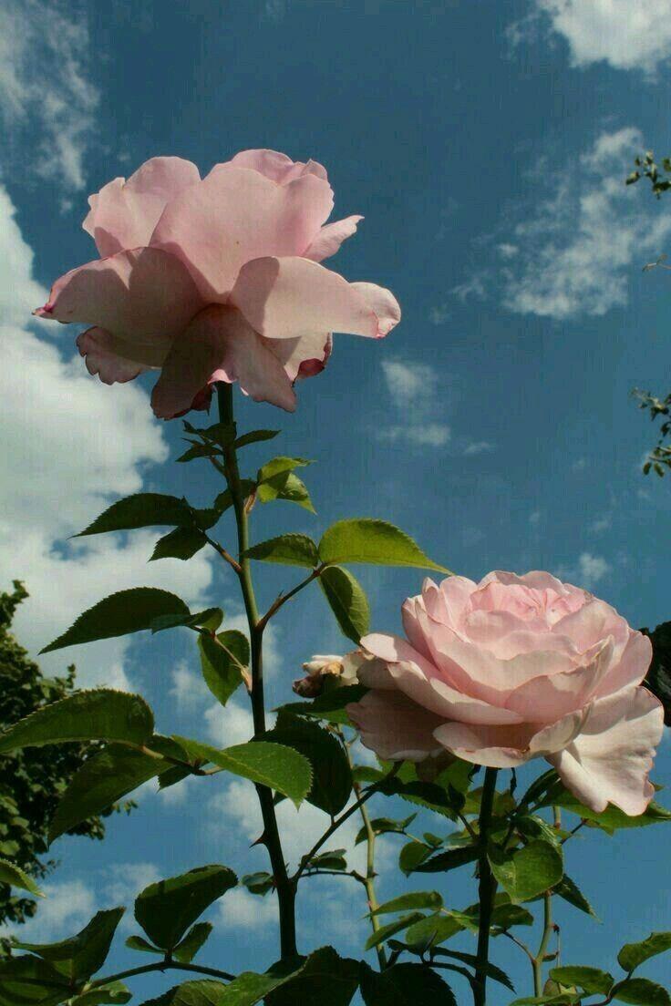 Flower Flower Aesthetic Aesthetic Roses Flower Wallpaper