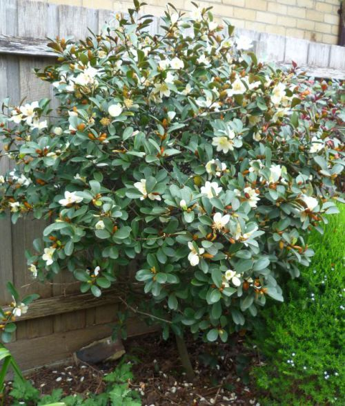 Michelia yunnanensis scented pearl pearls small for Small sized evergreen trees