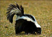 Skunks sure can create a stink! If you need to get rid of skunks, call us. We provide skunk removal service in Houston, Austin, Dallas & Fort Worth