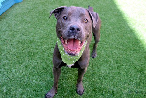 ROCKY - A1116253 - - Manhattan  TO BE DESTROYED 07/03/17  A volunteer writes: Cue the theme song from Rocky! Can you hear it? That's for my new crush, Rocky! This hunka hunka gorgeous boy was surrendered by his person due to housing issues, and seriously, I wish his loss could be my gain, but it can't. It can be yours, however, and should be. He's absolutely gorgeous, walks beautifully on leash (I watched him walk with another volunteer through the park an
