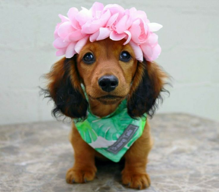 Dachshund Long Haired Puppy With A Flower Crown Too Cute
