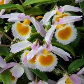 Orchidée Dendrobium loddigesii