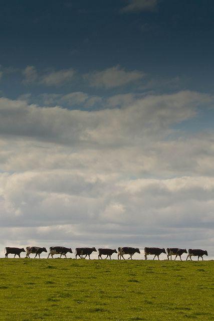 When the cows come home.......
