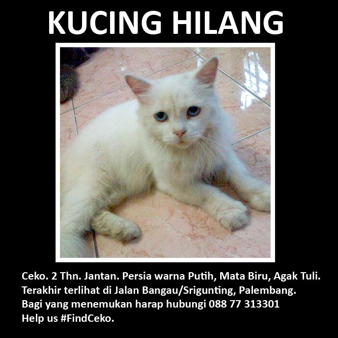 Telah Hilang. Ceko, kucing persia jantan, 2 tahun, bulu putih, mata biru, tuli. Please help us #FindCeko