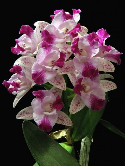 cattleya orchid flowers pictures.