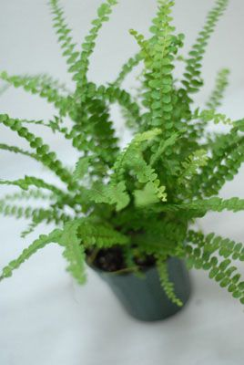 "Lemon Button Fern (Nephrolepis cordifolia) - One of our most popular terrestrial plants, Lemon Button Fern is excellent for use in vivariums. Throws long, fuzzy rhizomes once acclimated, and will sprout more ferns along them in good conditions. Grows well in medium to high light and moist soil. Does not tolerate long periods of dry conditions. Grows to around 9-12"" before fronds arc downward."