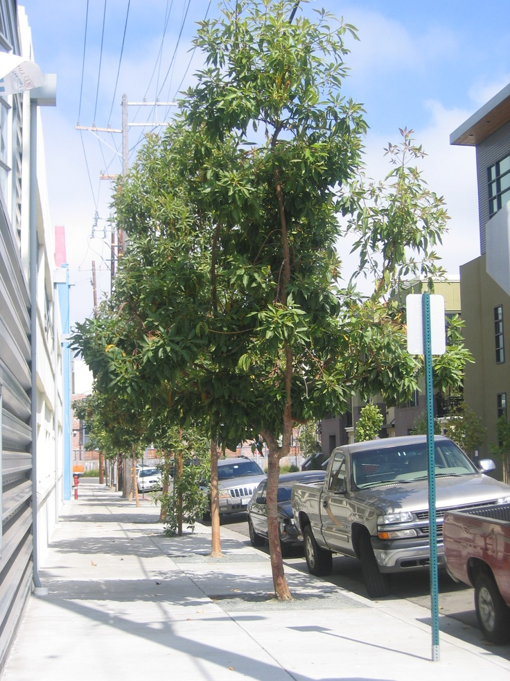 Street Tree Tristania Conferta Plants 2 Pinterest
