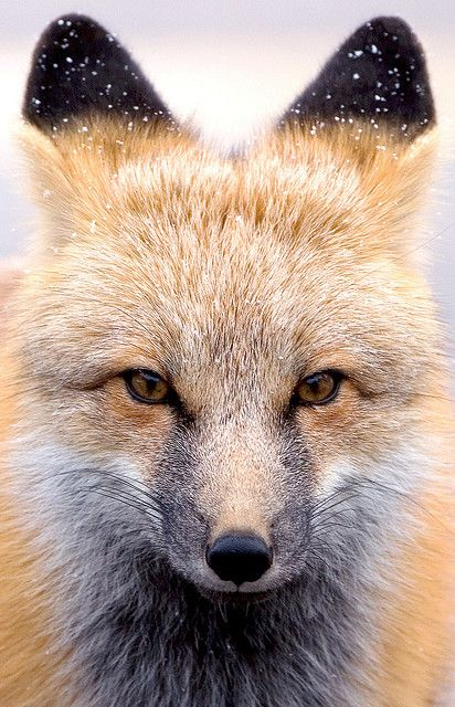 Snow-dusted fox in Rocky Mountain National Park, Colorado #red_fox #Vulpes_vulpes #myt