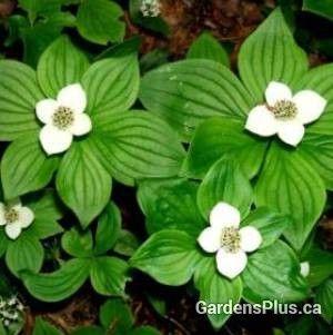 Bunchberry – Gardens Plus