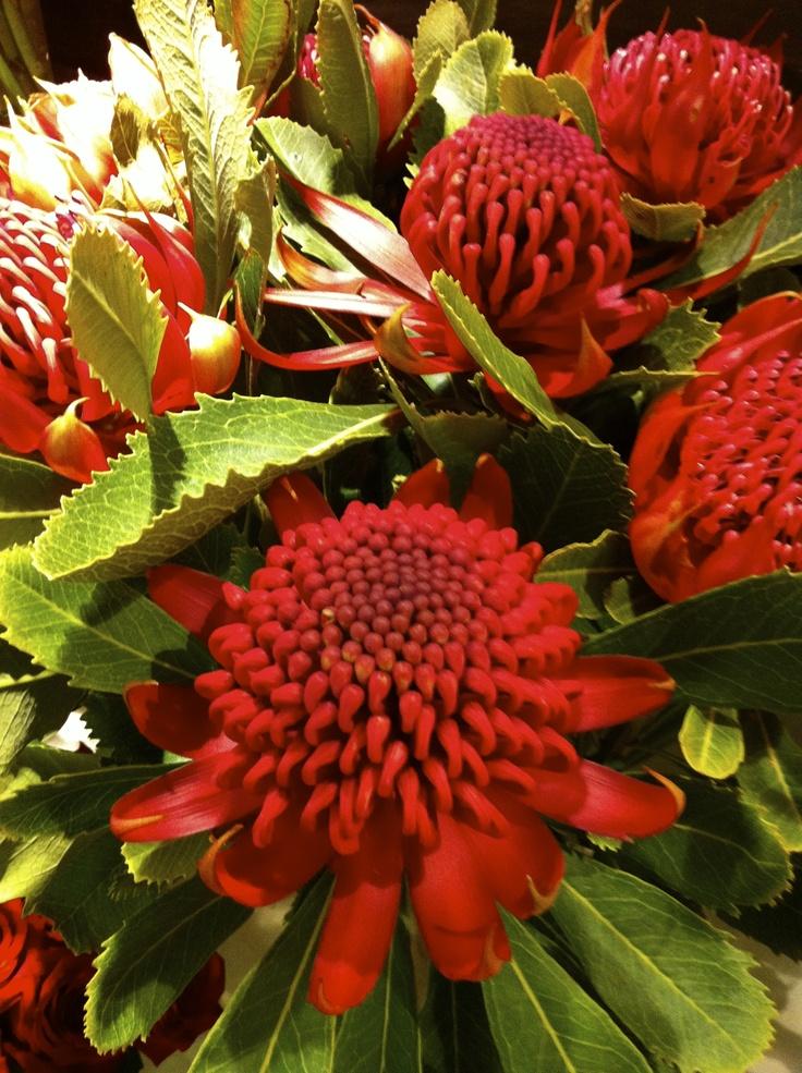 Waratah: NSW state flower & emblem