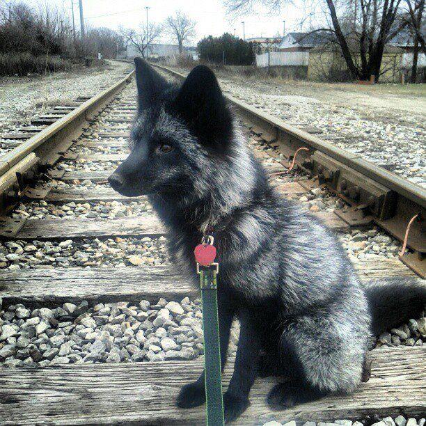 http://i17.servimg.com/u/f17/18/08/62/47/kai_on10.jpg  Argente renard --- silver fox --- zorro plateado