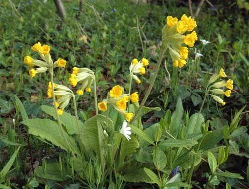 GEWONE SLEUTELBLOEM  (Primula Veris L.)  Vroeger werden de bloemen en de wortel, die naar anijs smaakt en bitter is, in de geneeskunde gebruikt. Het was een heilige plant en genas dus alle kwalen van de duivel zoals jicht, rheumatiek en hoofdpijn, terwijl ze een pijnstillende en kalmerende werking moest hebben. Met veel suiker was het een hoestmiddel (sleutelbloembonbons).