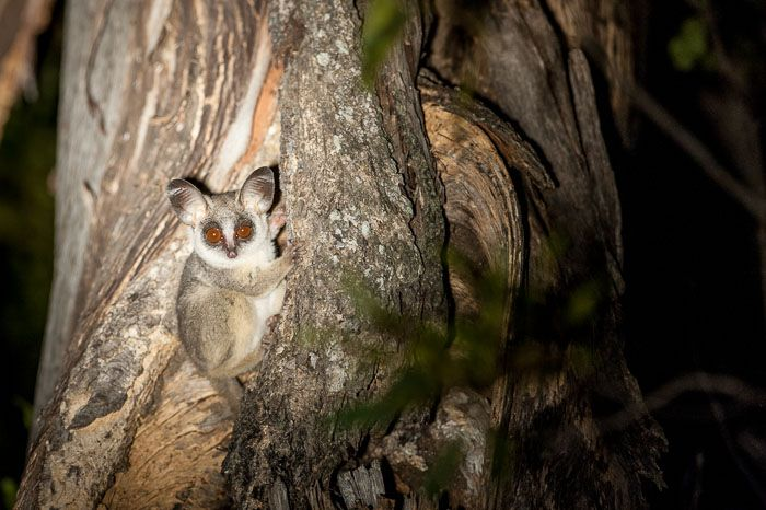 The most relaxed Bush  baby I have ever managed to view. Photograph by Mike Sutherland.