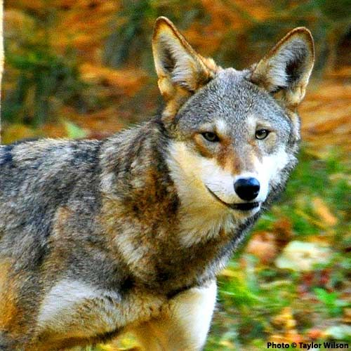 Speak Out For Red Wolves. Red wolves are dangerously close to extinction in the wild, and they need your help.