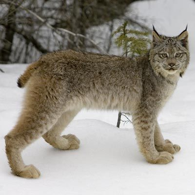 Big Cat Image Gallery: Carnivores: Animal Planet. |  The Canada lynx (Lynx canadensis) sleeps in rock crevices and caves during the day and hunts at night. Its main source of food is the snowshoe hare, but it also eats rodents and birds.