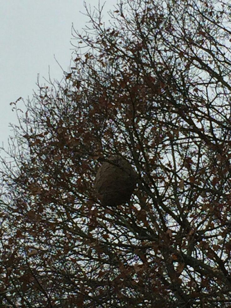 Un nid de frelons à éradiquer