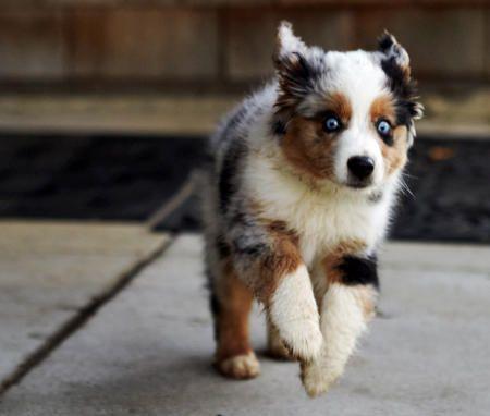 my future puppy an australian shepard :D