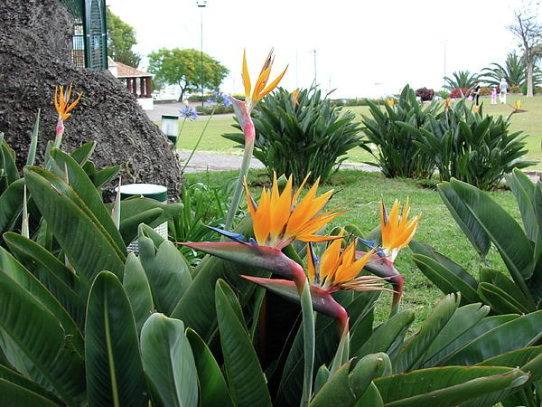 Bird of Paradise, Funchal Maderia