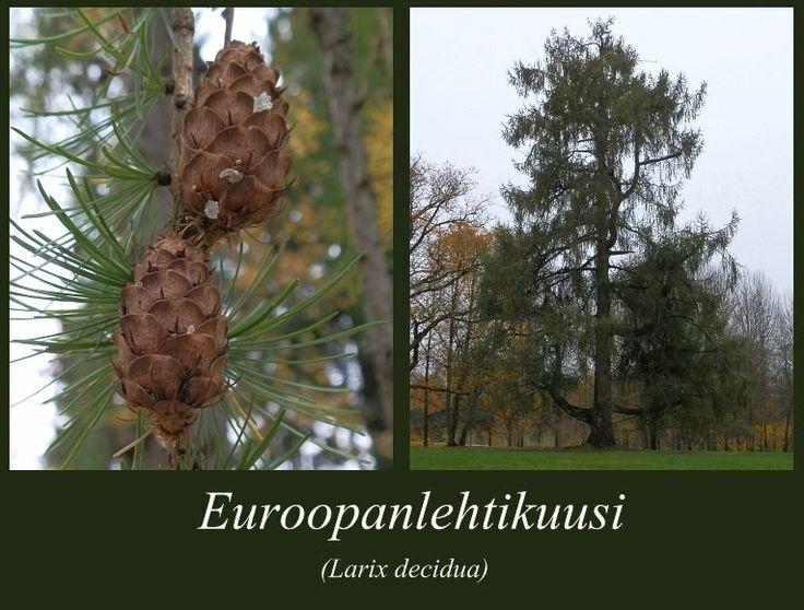 Euroopanlehtikuusi - puulajipuisto